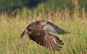 Picture flight, bird, wings, flies, hawk, predatory, the scope