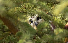 Picture look, branches, owl, bird, needles, coniferous, bokeh, Peeps, owl