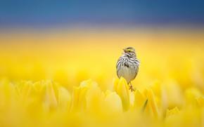 Picture flowers, bird, tulips