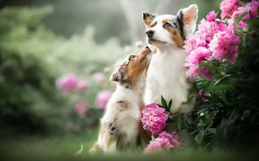 Picture dogs, flowers, puppy, bokeh, peonies