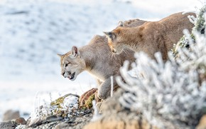 Wallpaper winter, frost, pair, walk, Puma