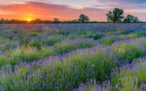 Picture summer, the sky, trees, sunset, flowers, the ranks, lavender, plantation, lavender field