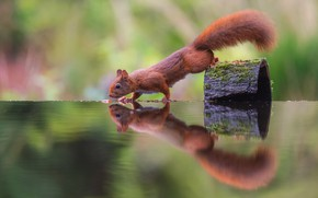 Picture nature, pose, reflection, branch, protein, animal, red, bark, squirrel, rodent, symmetry, mirror