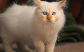 Picture cat, white, look, kitty, background, tile, paws, fluffy, kitty, blue-eyed, color-point, Neva masquerade, red-point