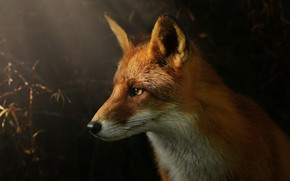 Picture look, face, light, nature, the dark background, portrait, Fox, profile, red, twilight