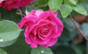 Picture leaves, drops, macro, rose, petals