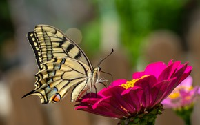 Picture flower, butterfly, swallowtail