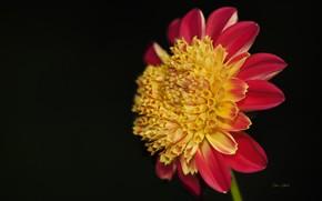 Wallpaper flower, background, black background, Dahlia