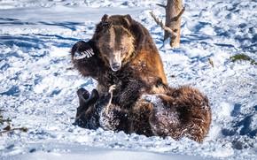 Picture Winter, Snow, Fight, Animals, Bears, Two, Predators, Bears, Бурые медведи, Косолапые