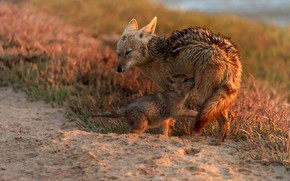 Picture grass, pose, wolf, baby, pair, puppy, wolves, mom, two, coyote, the coyotes, breastfeeding