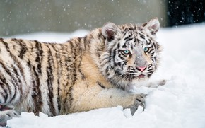 Picture winter, white, look, snow, nature, tiger, pose, lies, blue eyes, snowfall, cutie, tiger, the expression, …