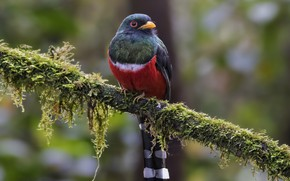 Picture bird, branch, male, masked trogon