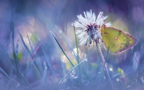 Picture flower, grass, drops, macro, light, Rosa, glare, dandelion, butterfly, glade, blur, morning, insect, yellow, bokeh, …