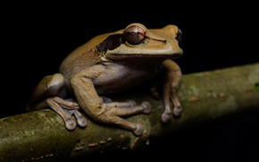 Picture eyes, look, macro, pose, frog, branch, grey, black background, treefrog, dendrobates
