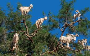 Picture tree, goats, Morocco, agraniya