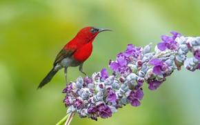 Picture background, bird, branch, bird, green background, red bird