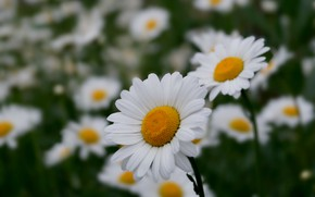 Picture flowers, chamomile, white