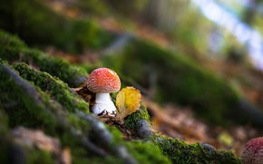 Picture forest, mushroom, blur, mushroom