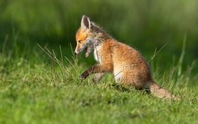 Picture grass, pose, glade, sitting, Fox, Fox