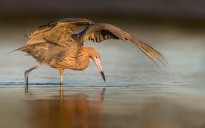 Picture bird, Reddish Egret, Egretta rufescens