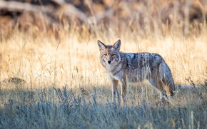 Picture field, grass, light, nature, wolf, bokeh, coyote