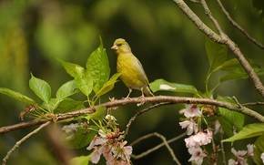 Picture look, nature, bird, branch, beak, sitting, Zelenushka, yellow green