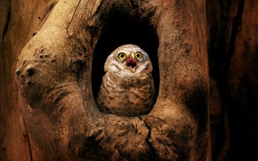 Picture look, the dark background, tree, owl, bird, beak, the hollow, owl, sychik