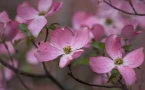 Picture macro, flowers, branches, spring, pink, flowering, dogwood