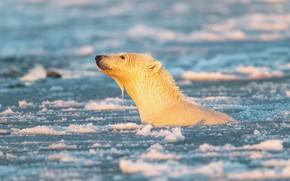 Picture winter, white, water, snow, nature, wet, pose, ice, bear, bears, bathing, polar bear, pond, polar …