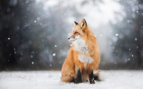 Picture winter, forest, look, light, snow, nature, pose, background, Fox, profile, red, sitting, snowfall, Fox
