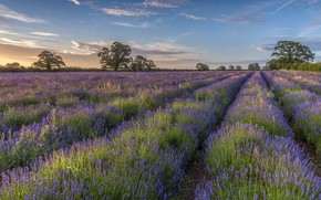Picture field, trees, lavender