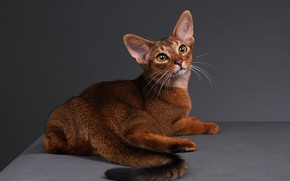 Picture cat, cat, back, tail, lies, Studio, Abyssinian