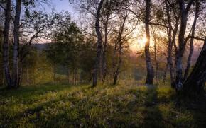 Picture greens, forest, the sun, flowers, spring, birch, birch, birch grove