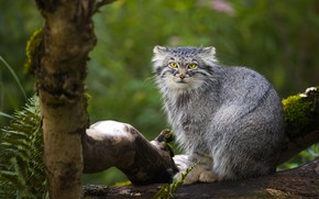 Wallpaper look, face, nature, pose, tree, sitting, wild cat, green background, manul