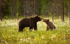 Picture forest, summer, grass, trees, flowers, glade, bears, bear, cub, lawn, two, bear, mother, communication, two ...