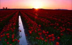 Picture field, the sky, water, the sun, rays, landscape, flowers, dawn, tulips, red