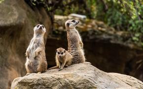 Picture photo, Meerkat, Animals, Three