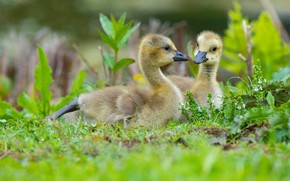 Picture greens, grass, birds, glade, spring, pair, kids, a couple, two, geese, the goslings, Gosling, Gosling, …