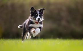 Picture grass, dog, running, puppy, walk, bokeh, The border collie