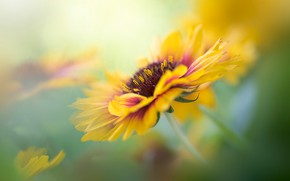 Picture flower, macro, yellow, blur, green background, gaylardiya