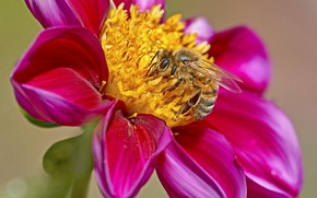Picture flower, bee, background, Dahlia