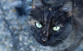 Picture cat, cat, look, face, background, portrait, wool, grey, green eyes, dark, spotted, motley