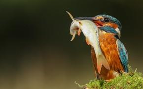 Picture nature, bird, moss, fish, Kingfisher, catch