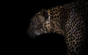 Picture nature, leopard, beast