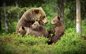 Picture forest, bears, bears, bear