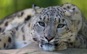 Picture eyes, look, face, close-up, pose, background, portrait, paws, lies, IRBIS, snow leopard
