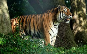 Picture forest, tiger, tree, profile