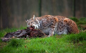 Picture forest, grass, nature, food, meat, lynx, wild cat, lunch, mining, meal, carcass