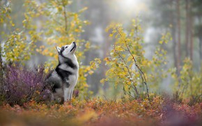 Picture autumn, husky, breed