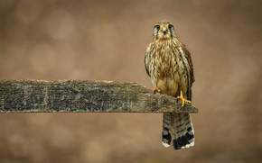 Wallpaper birds, Board, Kestrel